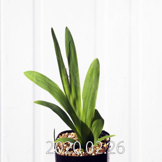Freesia viridis ssp. crispifolia  Seedling 19025