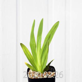 Freesia viridis ssp. crispifolia  Seedling 19029