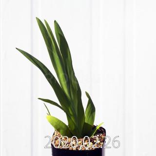 Freesia viridis ssp. crispifolia  Seedling 19032