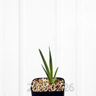 Freesia viridis ssp. crispifolia  Seedling 19040