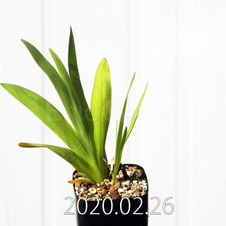 Freesia viridis ssp. crispifolia  Seedling 19047