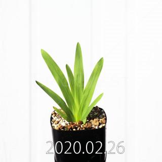 Freesia viridis ssp. crispifolia  Seedling 19053