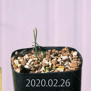 Eriospermum aphyllum IB10404 Seedling 19061