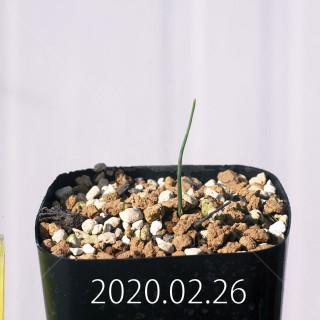Eriospermum aphyllum IB10404 Seedling 19066