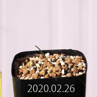 Eriospermum aphyllum IB10404 Seedling 19073