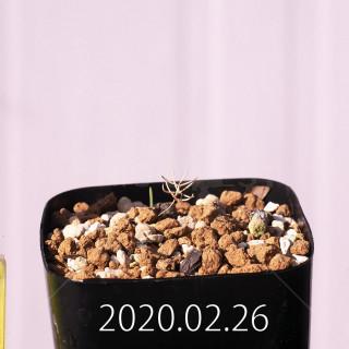Eriospermum aphyllum IB10404 Seedling 19077