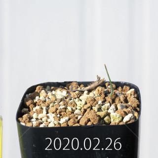 Eriospermum aphyllum IB10404 Seedling 19088