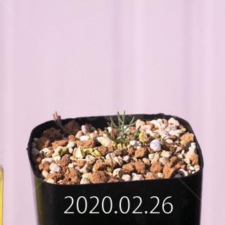 Eriospermum aphyllum IB10404 Seedling 19091