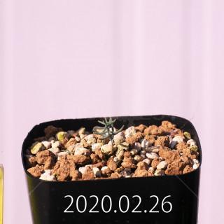 Eriospermum aphyllum IB10404 Seedling 19105