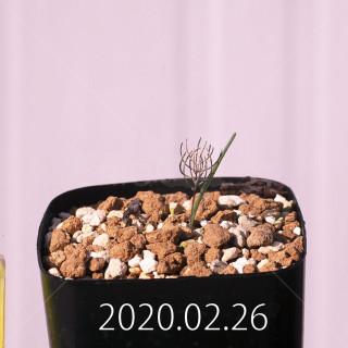 Eriospermum aphyllum IB10404 Seedling 19115