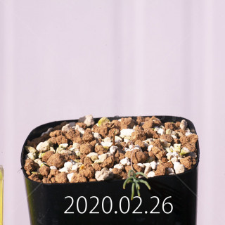 Eriospermum aphyllum IB10404 Seedling 19117
