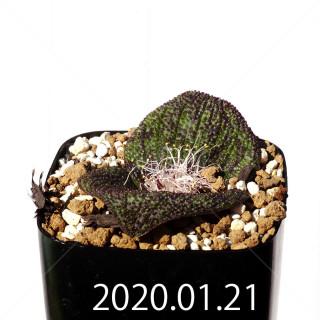 Massonia longipes EQ870 Seedling 19222