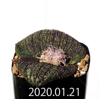 Massonia longipes EQ870 Seedling 19223