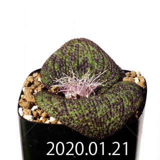 Massonia longipes EQ870 Seedling 19230