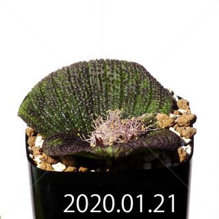 Massonia longipes EQ870 Seedling 19256
