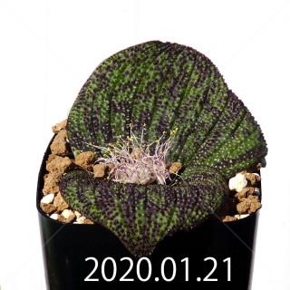Massonia longipes EQ870 Seedling 19258