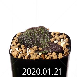 Massonia longipes EQ870 Seedling 19263