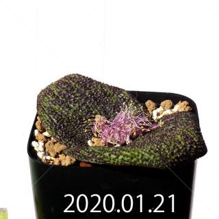 Massonia longipes EQ870 Seedling 19272
