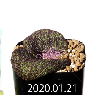 Massonia longipes EQ870 Seedling 19275