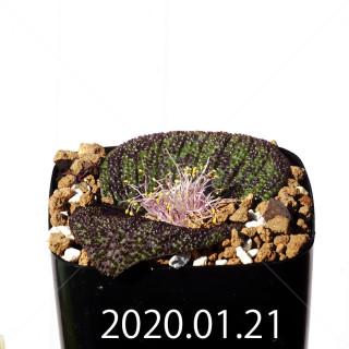 Massonia longipes EQ870 Seedling 19277