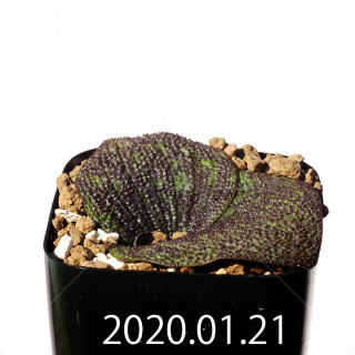 Massonia longipes EQ870 Seedling 19293