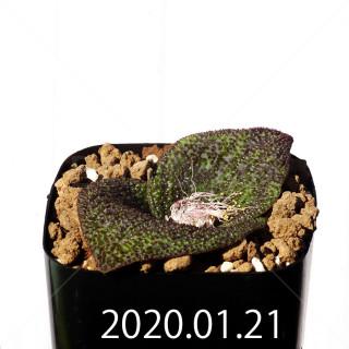 Massonia longipes EQ870 Seedling 19294
