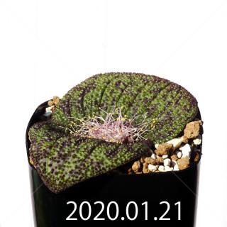 Massonia longipes EQ870 Seedling 19295