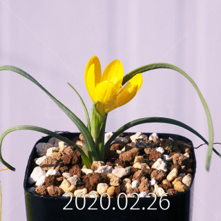 Geissorhiza corrugata EQ705 Seedling 19586