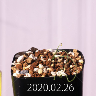 Geissorhiza corrugata EQ705 Seedling 19595