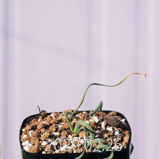 Geissorhiza corrugata EQ705 Seedling 19600