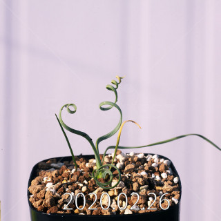 Geissorhiza corrugata EQ705 Seedling 19604