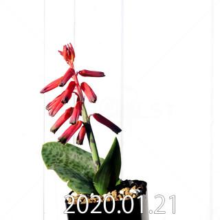 Lachenalia bulbifera seedling
