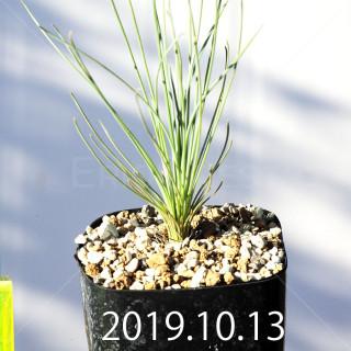 Albuca namaquensis ES15533 Seedling 6803