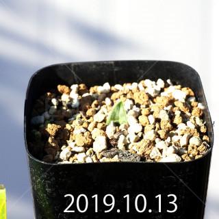 Lachenalia kliprandensis Seedling 7844