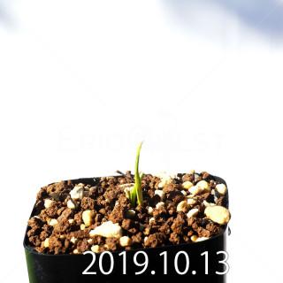 Lachenalia corymbosa EQ453 Seedling 8378