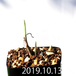 Lachenalia corymbosa EQ453 Seedling 8380