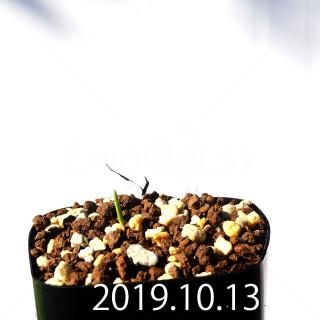 Lachenalia corymbosa EQ453 Seedling 8384