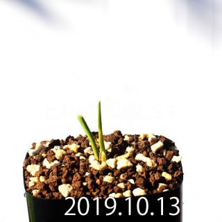 Lachenalia corymbosa EQ453 Seedling 8389