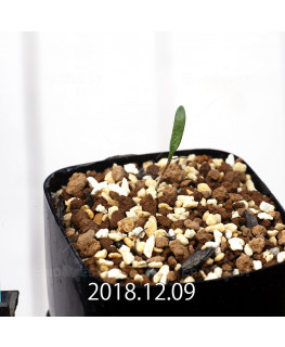 Eriospermum sp. cf. halenbergense Seedling 11184