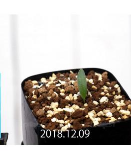 Eriospermum sp. cf. halenbergense Seedling 11185