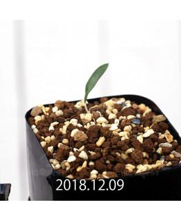 Eriospermum sp. cf. halenbergense Seedling 11186