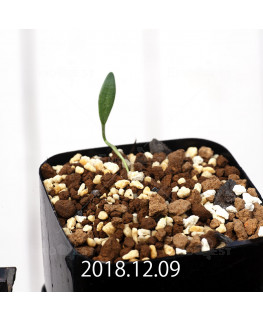 Eriospermum sp. cf. halenbergense Seedling 11187