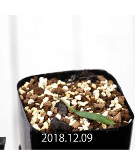 Eriospermum sp. cf. halenbergense Seedling 11189