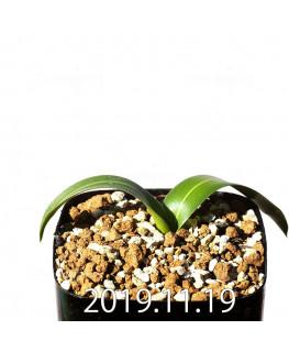 Daubenya comata EQ623 Seedling 11328