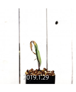 Lachenalia mutabilis EQ467 Seedling 11421