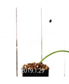 Lachenalia mutabilis EQ467 Seedling 11423