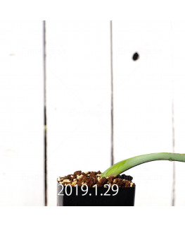 Lachenalia mutabilis EQ467 Seedling 11425