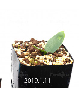 Massonia depressa EQ646 Seedling 11827