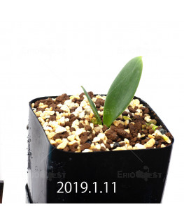 Massonia depressa EQ646 Seedling 11828