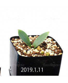 Massonia depressa EQ646 Seedling 11831